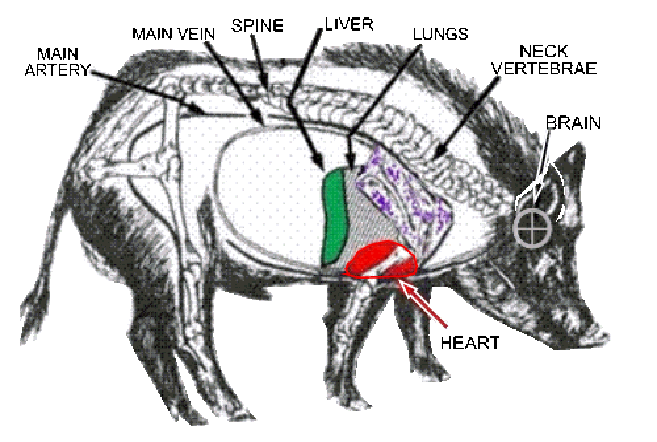 Feral hog anatomy