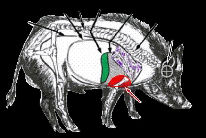 Wild Pig Anatomy Diagrams Wiring Diagram Electricity Basics 101